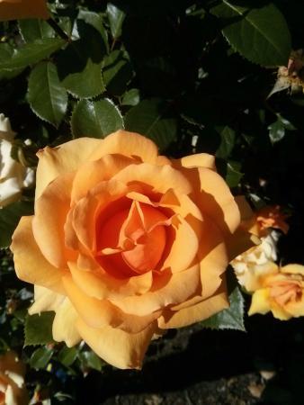 Queenstown, Nieuw-Zeeland: Exemplar do jardim de rosas