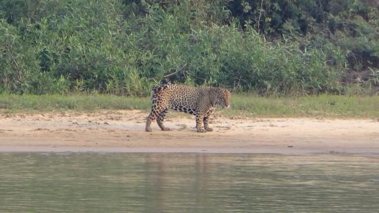 Pocone, MT: Avistamento de Onça Pintada no Pantanal MT Porto Jofre.