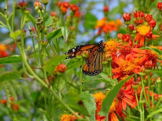 Laguna Madre Nature Trail : Monarch butterly at the entrance garden