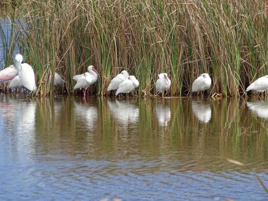 Laguna Madre Nature Trail : Variety of shorebirds ( spoonbill, egret, ibis) in one of the lagoons