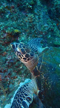 Bali Bubbles Dive Center: hawksbill turtle at the usat liberty wreck