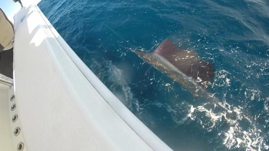 Palm Beach Shores, Φλόριντα: Sailfish are biting!