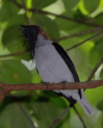 Arima, Trynidad: Bearded Bellbird