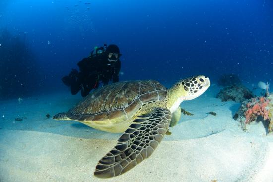 Simpson Bay, St. Maarten-St. Martin: Sea Turtle