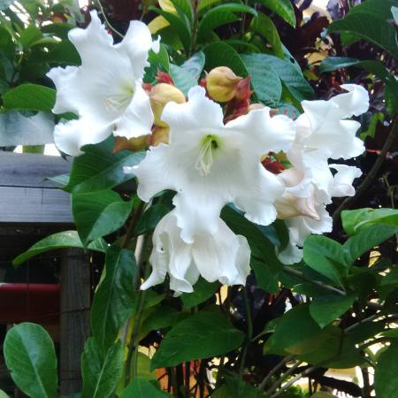 Heralds trumpet vine picture of palm tree gardens botanical palm tree gardens botanical garden heralds trumpet vine mightylinksfo