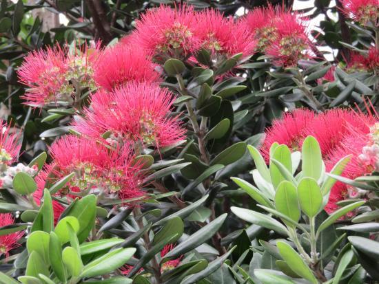 Pohutukawa in full bloom in downtown Otahuhu