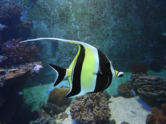 ce petit poisson est facilement visible dans les lagons photo de aquarium de la r union saint. Black Bedroom Furniture Sets. Home Design Ideas