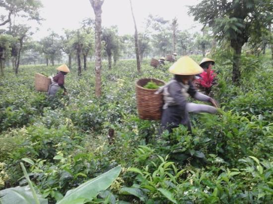 Pemalang, Indonesia: Pemetik teh sedang bekerja