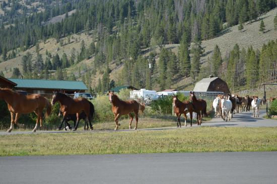 320 Guest Ranch: Twice daily running of the horses out to the other pasture.