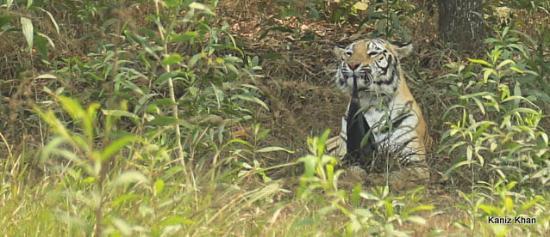 Gazipur, Bangladesh: Tiger eating something