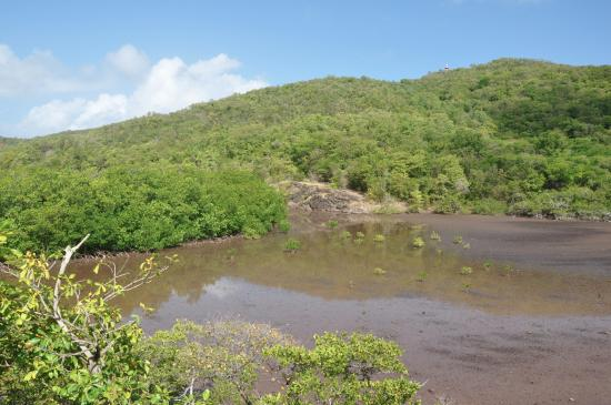 Parc Naturel Regional de la Martinique: Mangrove
