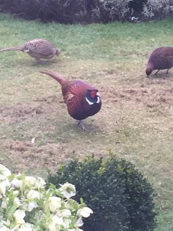 Fauhope Country House: Family of pheasant right outside the bedroom