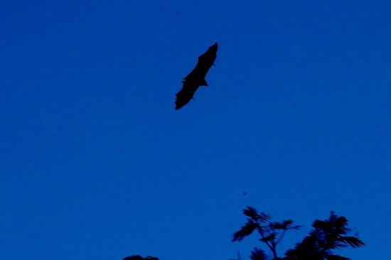 Anse Etoile, Seychellen: Large majestic bats in the evenings