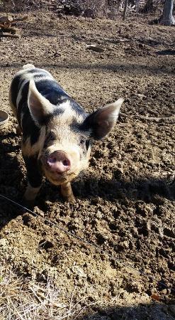 Brandywine, แมรี่แลนด์: This is Mr.Johnson. A handsome pig on the farm.