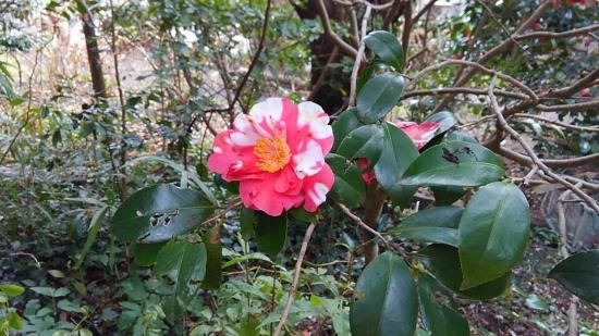 Tsubakihana Garden Squirrel Village : 椿の花。こんなのもあるなんて知らなかったよ。