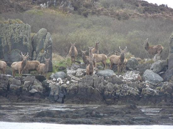 Islay Sea Adventures : Island deer