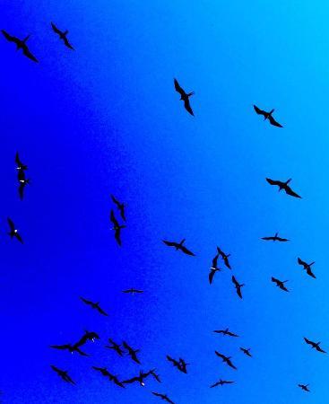 Punta Gorda, Belice: Frigate birds in flight