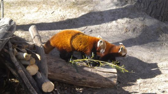 ZooMontana: Red Panda