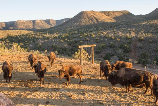 Buffalo at sunset at grand canyon western ranch picture for Grand ranch