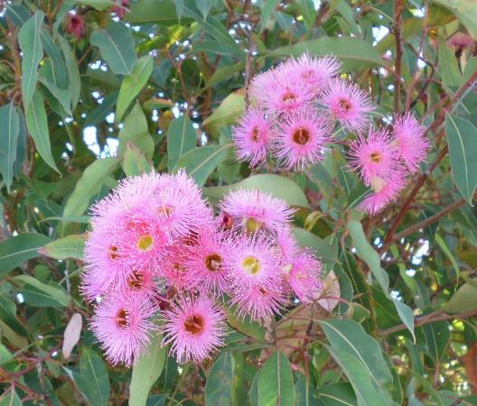 Pink flowering gum picture of elizabeth quay perth tripadvisor elizabeth quay pink flowering gum mightylinksfo