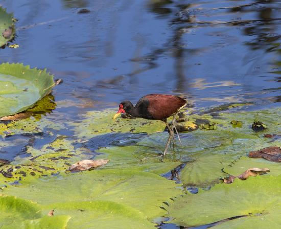 Talparo, Trinidad: Wattled jacana (seen from the porch in our cottage)