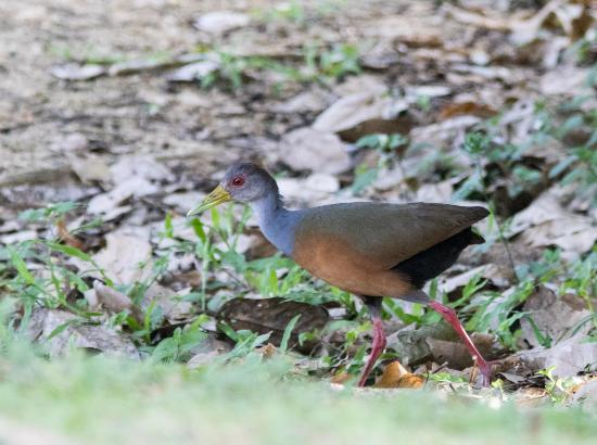 Talparo, Trynidad: Grey-necked woodrail (walking on the grounds)