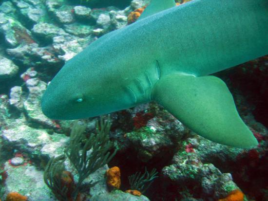Extra Divers Tobago, Speyside : A curious and harmless nurse shark.