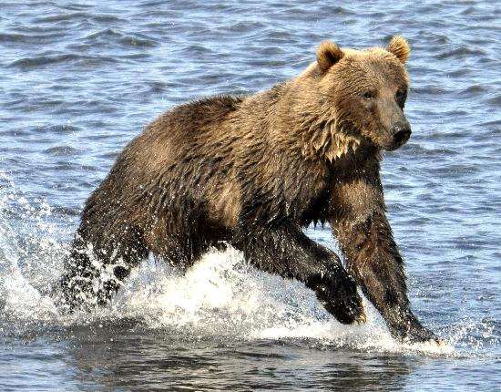 Kodiak Wildlife Tours: Heading into the river to look for dinner