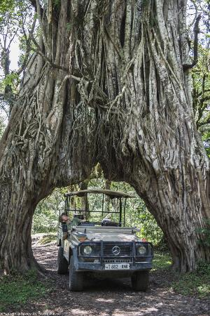 Hatari Lodge: Fig tree _ an icon