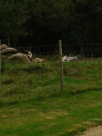 Stereden  - Village de chalets: La chèvre et les alpagas, trop mignons