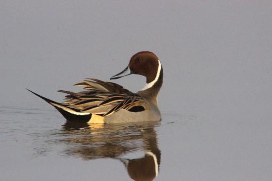 Dallas, Орегон: Many varieties of ducks can be seen, with plentiful nesting opportunites.