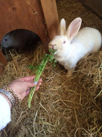 Grass Valley, Californie : Feeding rescued lab rabbits!
