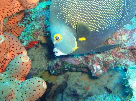 The Dive Inn : franse keizervis close up_large.jpg