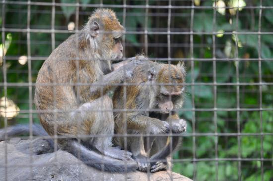 Botolan Wildlife Farm: Affen beim Lausen ...