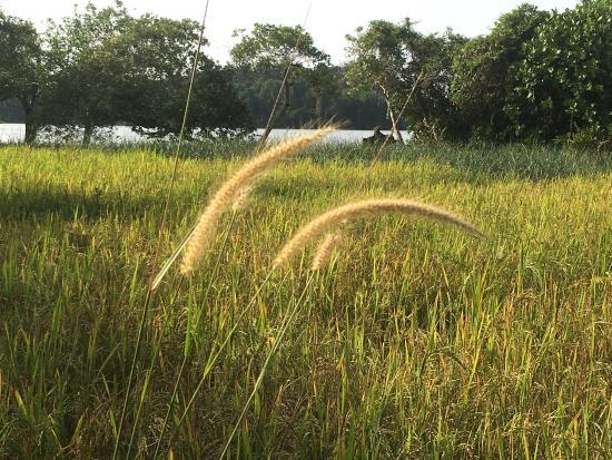 Bentota, Sri Lanka: Rice Paddy at Lunuganga