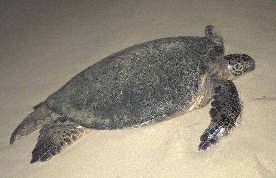 Paia, Hawaï : Turtle on Baldwin beach in the evening