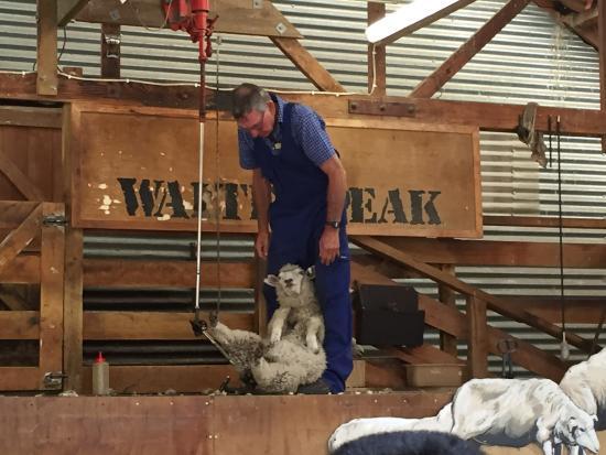 Квинстаун, Новая Зеландия: Calming a sheep for shearing