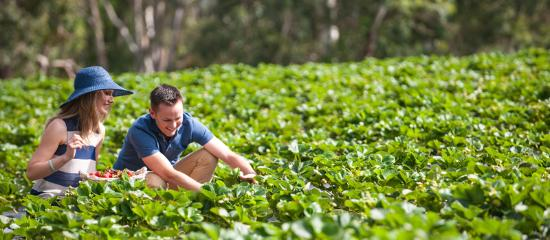Adelaide Hills, Australia: Beerenberg Strawberry Farm