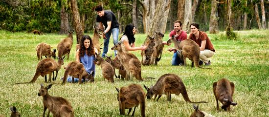 South Australia, Australien: Kangaroos at Cleland Wildelife Park