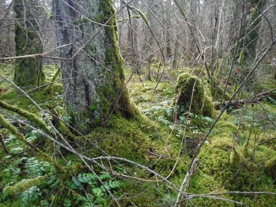 Courtenay, Canada: MOSS COVERED WOODS
