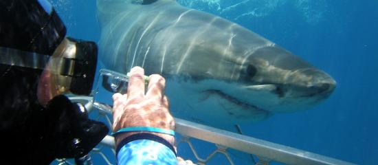 Port Lincoln, Australia: Shark Cage Diving