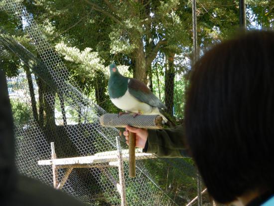 كوينز تاون, نيوزيلندا: NZ pigeon at the concervation show