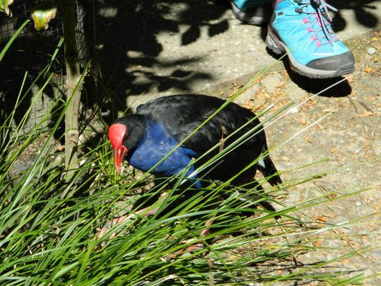 كوينز تاون, نيوزيلندا: pukeko just walking in the open
