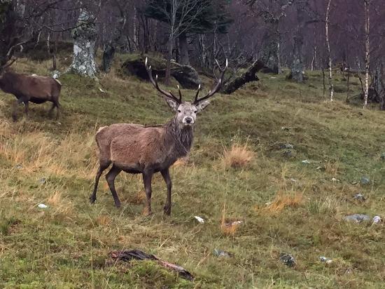Kinlochlaggan, UK: the beautiful Stag