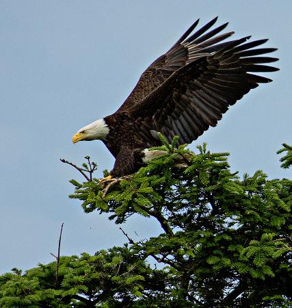 Nisqually National Wildlife Refuge: Eagles are a staple on the Nisqually Refuge