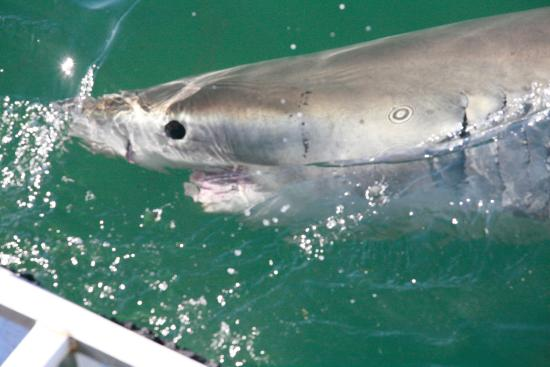 Shark Seekers: This was shot from the upper deck while my husband was in the cage.