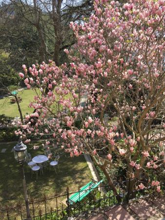 The Pink Magnolia Tree In Full Bloom Picture Of Magnolia