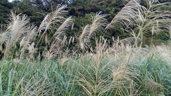 Caoling Historic Trail (Tsaoling Trail): 草嶺古道 -- 芒草季