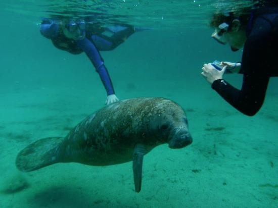 Crystal Lodge Dive Center: Interaction with a manatee