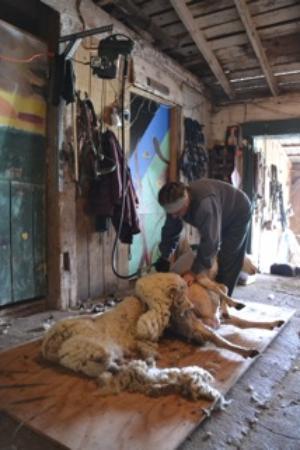 Callicoon Center, État de New York : Sheep Sheering